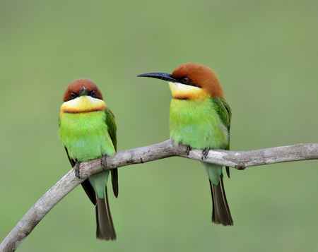 white headed: Sweet pair of Chestnut-headed bee-eater (Merops leschenaulti) beautiful green birds with orange head perching on the branch over bur background, fascinated nature