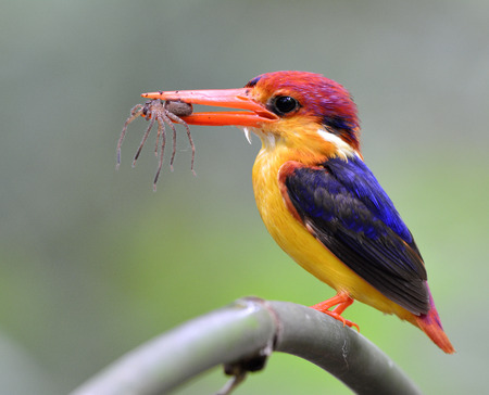 blue fish: Oriental dwarf kingfisher (Ceyx erithaca) or Black-backed kingfisher, a beautiful tiny orange bird carrying spider in his mouth standing on a bamboo branch waiting to feed its chick in the hole nest