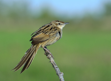 wagging: Striated Grassbird (Megalurus palustris) beautiful stripe brown bird with long tail perching on stick in paddy field, exotic creature