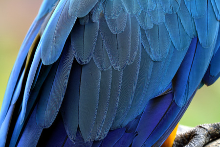 hair feathers: Exotic blue macaw parrot bird feathers, beautiful background