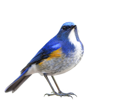 Himalayan bluetail or orange-flanked bush-robin (Tarsiger rufilatus) beautiful blue bird with orange side feathers showing its white chest isolated on white bakcground, exotic nature