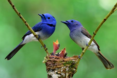 黒い naped 君主または青いヒタキの巣の上で止まったの親が巣、美しい自然の中、赤ちゃんの雛を守る 写真素材
