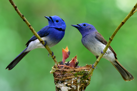 Parents of Black-naped Monarch or Blue Flycatchers perching over nest protect their baby chicks in the nest, beautiful nature
