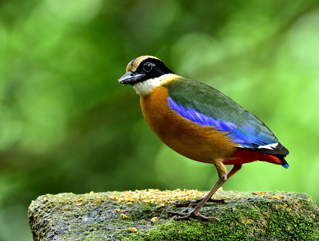 Blue-winged Pitta (Pitta moluccensis) beautiful mutiple colors bird standing on the dirty mossy rock in soft lighting, exotic nature