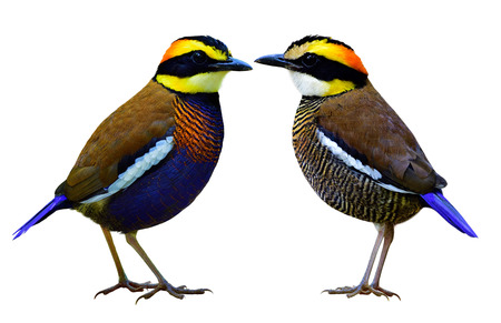 fale: Fale and female of Malayan banded pitta ( Hydrornis guajana) beautiful pair of multiple colors birds isolated on white background, most populared at Sri Phan Nga National park in Thailand Stock Photo