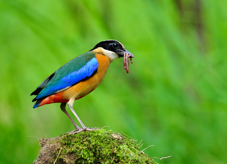 Blue-winged pitta (Pitta moluccensis) colorful bird with brown chest, green and blue wings carrying earth worm to feed its chicks over blur green background in nature