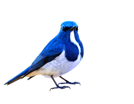 Beautiful Blue bird, Ultramarine Flycatcher (superciliaris ficedula) fully standing with detail from head to toes isolated on white background Stock Photo