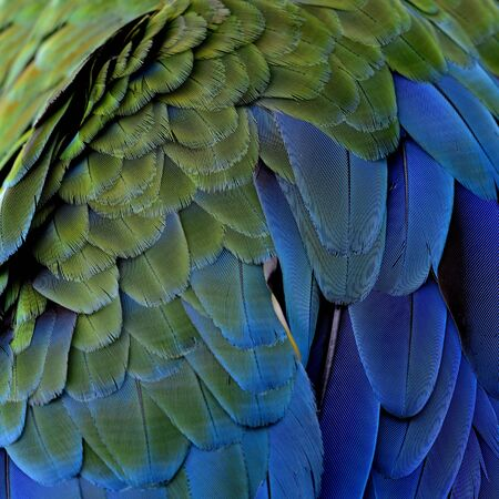 fascinate: Fresh Green and blue texture of Green-winged Macaw bird feathers, beautiful background