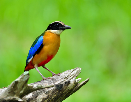 Blue-winged pitta (Pitta moluccensis) colorful bird with brown chest, green and blue wings fully standing on dried wooden over blur green background in nature