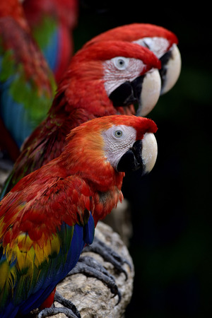 fascinate: Triple Scarlet macaw parrots gathering on the log over dark background, beautiful animal