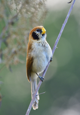 spot: Spot-breasted parrotbill (paradoxornis guttaticollis) softly singing while perching on fresh stick in in nature