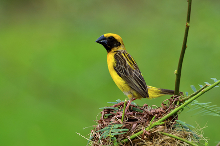 Male of Asian Golden Weaver, beautiful yellow bird with black stripes wings perching on his nest over green blur background, exotic nature
