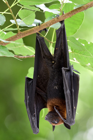 spot: Flying Fox hanging upright on small branch under shaded spot, big fruit bat in nature