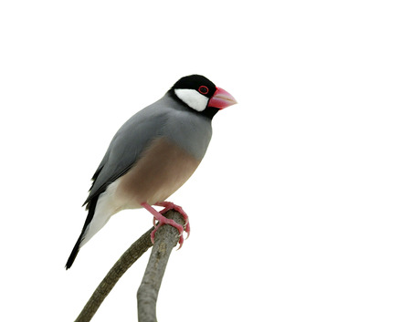 Java sparrow (Lonchura oryzivora) amazed grey feathers bird with pink legs and bills isolated on white background, exotic nature