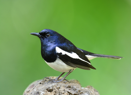 Oriental Magpie-robin (Copsychus saularis) beautiful chubby black and white bird perching on the log expose over green blur gackground, exotic nature