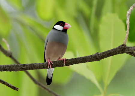Java sparrow (Lonchura oryzivora) a fine grey bird with pink bills perching on branch over green leafs, lovely nature Stock Photo