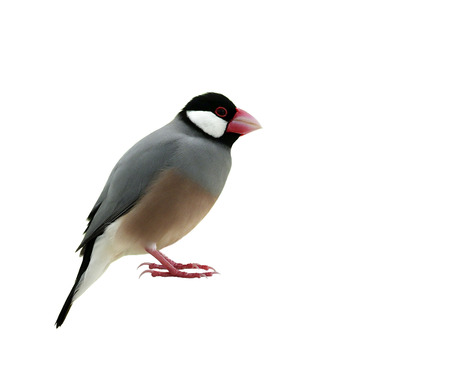 Java sparrow (Lonchura oryzivora) lovely grey birds with pink bills and legs fully standing showing head to toes details isolated on white background, beautiful nature Stock Photo