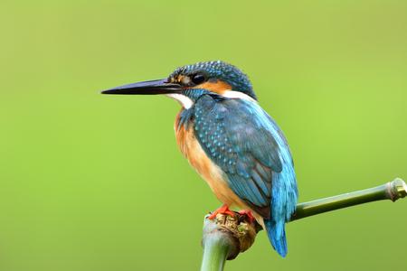 Beautiful blue bird with details of its feathers from head to tail, Common Kingfisher (Alcedo atthis) silence perching on green bamboo stick with very fine shape over blur green background Фото со стока