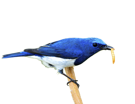 Exotic blue bird, Close up of ultramarine flycatcher eating worm while perching on branch isolated on white background Stock Photo