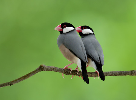 Java sparrow (Lonchura oryzivora) fine grey birds with pink bills and legs warmly perching together on tree branch over blur green background, fascinated nature