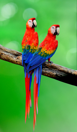 Pair of Scarlet macaw parrot birds perching on the wooden log with beautiful back feathers over green blur background
