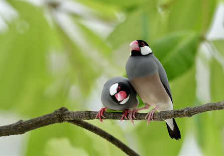 Java sparrow (Lonchura oryzivora) fine grey birds with pink bills perching beside each other on branch over green leafs, sweet nature