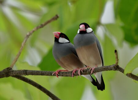 Sweet pair bird, Java sparrow (Lonchura oryzivora) fine grey bird with pink bills perching together on branch over green leafs, lovely nature Stock Photo