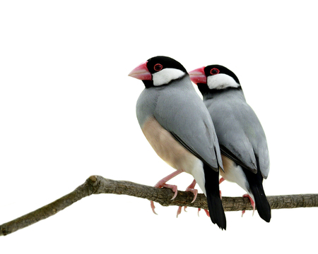 Java sparrow (Lonchura oryzivora) lovely couple fine grey birds with pink bills and legs perching on branch isolated on white background, fascinated nature