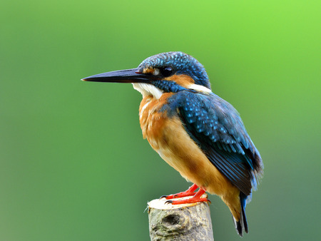 alcedo atthis: Back profile of Common Kingfisher (Alcedo atthis) Eurasian or River Kingfisher, gorgeous blue bird lonely perching on twig in stream over blur green background