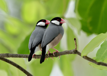 Java sparrow (Lonchura oryzivora) fine grey birds with pink bills perching beside each other on branch over green leafs, lovely nature Stock Photo