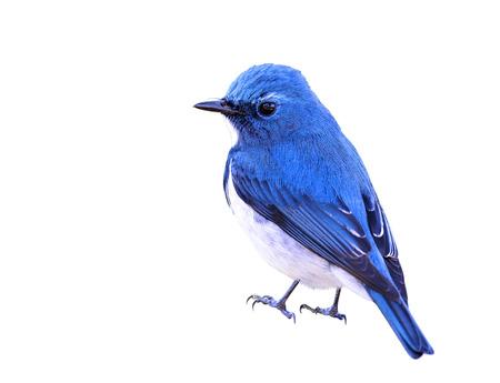 Ultramarine Flycatcher (superciliaris ficedula) beautiful small blue bird showing its fine back feathers, exotic nature