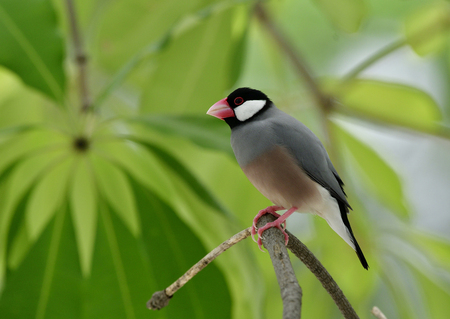 Java sparrow (Lonchura oryzivora) lovely grey birds with pink bills and legs perching on tree branch over green leafs, exotic nature