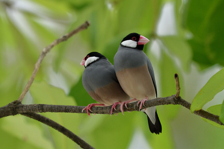 Couple of Java sparrow (Lonchura oryzivora) fine grey bird with pink bills perching together on branch over green leafs, lovely nature