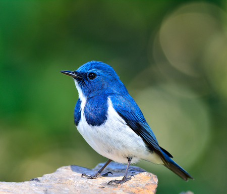 Ultamarine Flycatcher (superciliaris ficedula) a chubby beautiful blue and white bird perching on the rock over far green background in the nature, fascinated creature