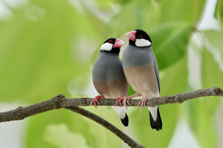 Java sparrow (Lonchura oryzivora) fine grey birds with pink bills perching teasing each other on branch over green leafs, sweet nature