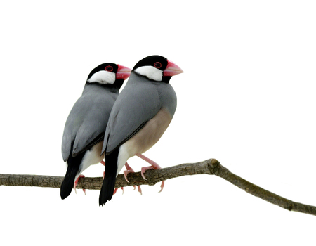 Java sparrow (Lonchura oryzivora) fine grey birds with pink bills and legs sweetness teasing each other on branch over green leafs, exotic nature