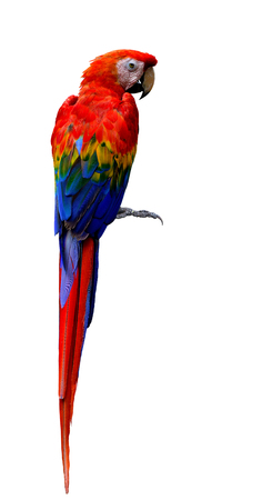 Scarlet macaw (Ara macao) large, red head, yellow and blue wings parrot bird on back feathers profile isolated on white background, fascinated bird Stock Photo