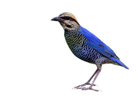 Beautiful blue bird with stripe belly and red head fully traight standing isolated on white background, male of Blue Pitta (Hydrornis cyaneus)