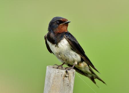 헛간 삼키기 (Hirundo rustica) 또는 제비, 녹색 흐림 배경 위에 대나무 극에 그친 갈색 얼굴로 사랑스러운 검은 새