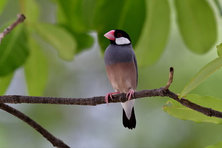 Java sparrow (Lonchura oryzivora)  fine pink finch grey bird perching on branch over green leafs, lovely nature Stock Photo