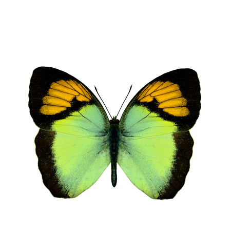 Yellow Orange Tip (Ixias pyrene) beautiful small butterfly fully wings stretched isolated on white background, fascinated nature Stock Photo