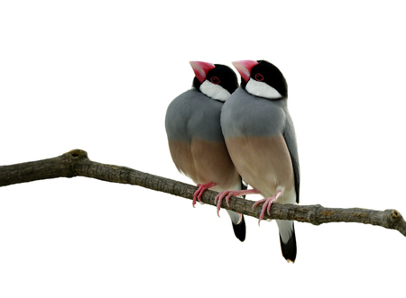 Pair of Java Sparrow (Lonchura oryzivora) in sweet moment on a branch isolated on white backgroud, exotic bird Stock Photo