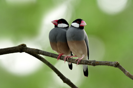 Sweet couple of Java Sparrow (Lonchura oryzivora) beautiful grey birds to pale pink bird with red legs and bills perching together, fascinated animal Stock Photo