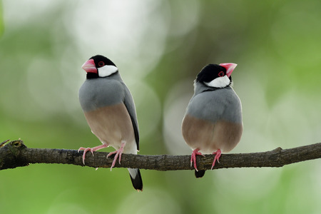 Lovely birds in sweet moment, Java sparrow (Lonchura oryzivora) beautiful grey birds with pink legs and bills perching together