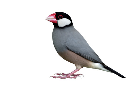Java Sparrow (Lonchura oryzivora) fine grey bird with black head pink bills and white cheek fully standing isolated on white backgroud, exotic animal Stock Photo