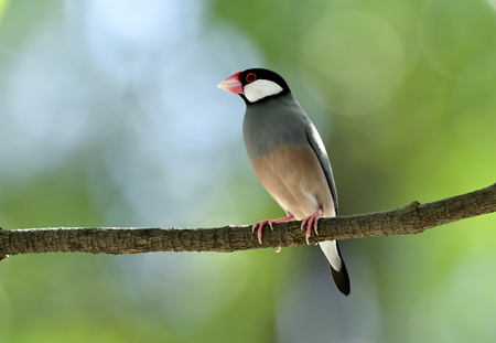 Lonely Java sparrow (Lonchura oryzivora) beautiful grey birds with pink legs and bills solo perching  on a branch in nature