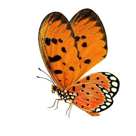 Beautiful flying orange butterfly, Tawny Coster (Acraea terpsicore) fully wings stretched isolated on white background, fascinated nature Stock Photo
