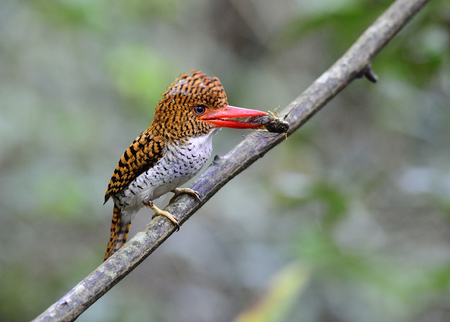 Mother of Banded Kingfisher beautiful brown bird with black strips and red bills perching on branch near her nest to feed cicada prey food for her chicks, exotic animal