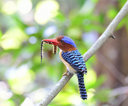 Banded Kingfisher beautiful blue bird with brown face and red bills taking favourite centipede pray food for his chicks