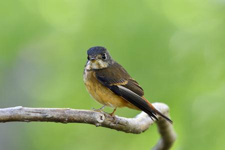 Ferruginous flycatcher (Muscicapa ferruginea) or iron boy brown bird perching on curved vine branch over blur green background, fascinated animal